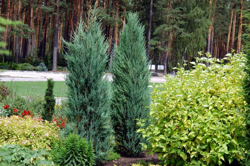 Плющ комнатные растения семене